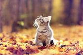 Britského kocourka v podzimním parku