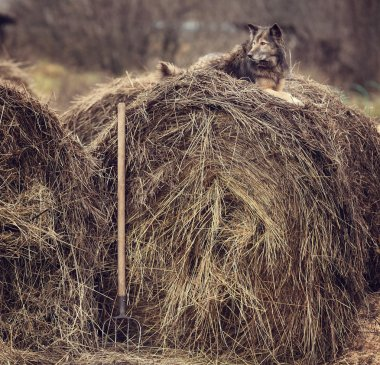 Dog on the hay