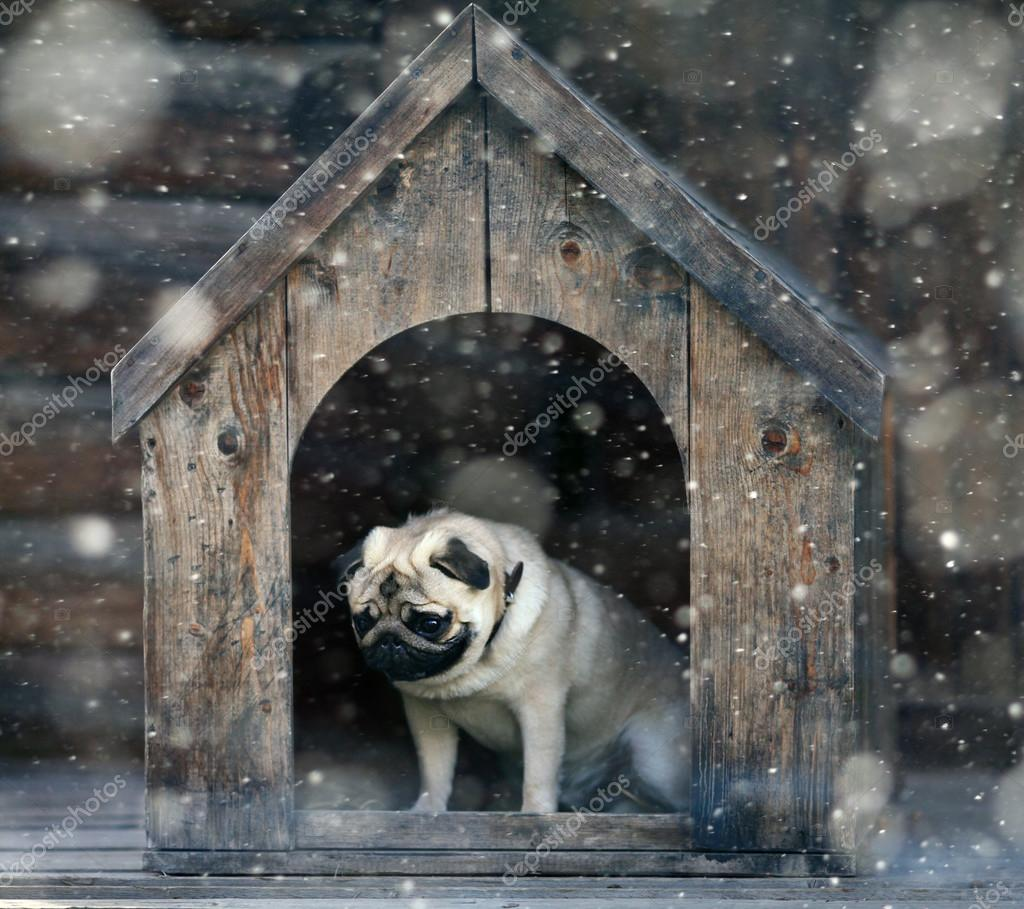 pug dog in the dog house u2014 stock photo xload 41200987