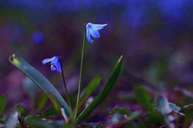 Bluebell flower stock vector