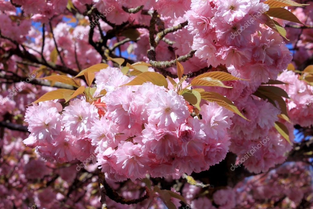 Albero con fiori rosa foto stock amandine26 24517803 for Albero con fiori blu