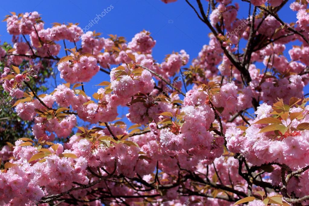 träd rosa blommor