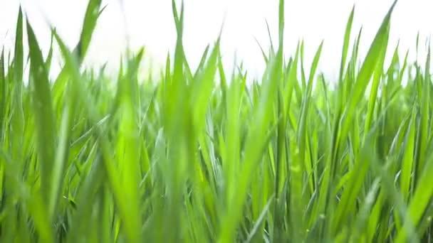 Weizen junge grüne Blätter, landwirtschaftliches Frühlingsfeld. Landschaft