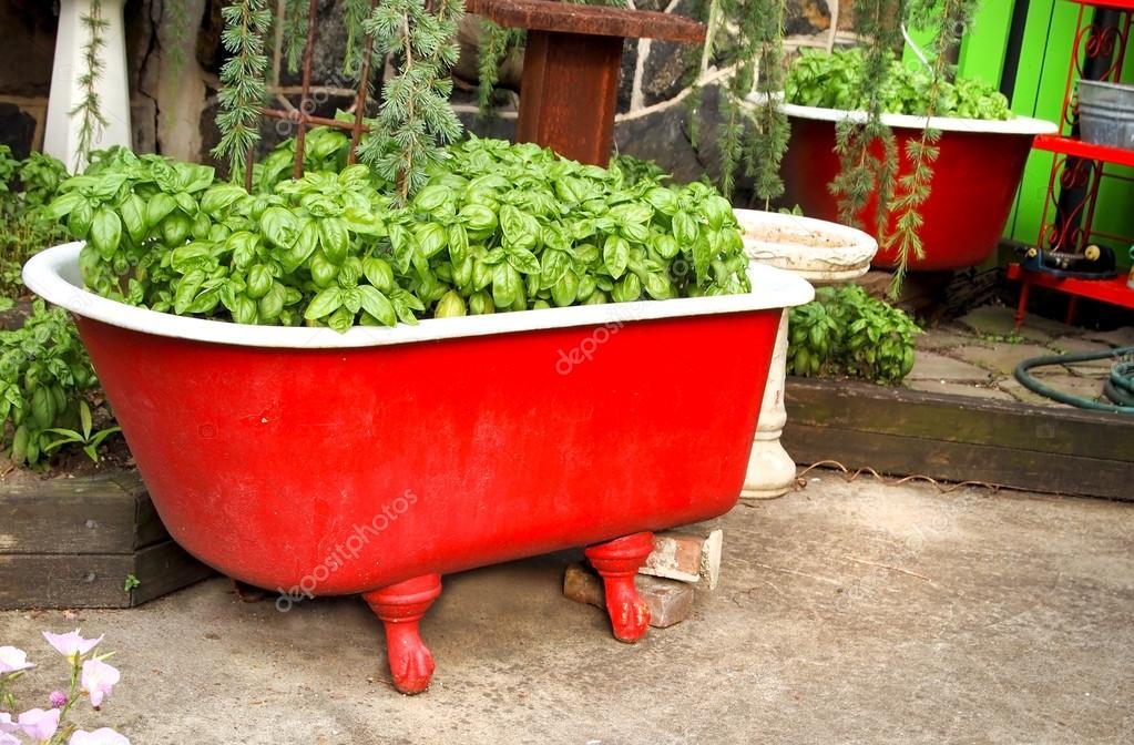 Vasca Da Bagno Per Giardino : Basilico in una vasca da bagno rosso u foto stock duckeesue