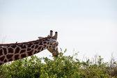 Fotografie žirafa