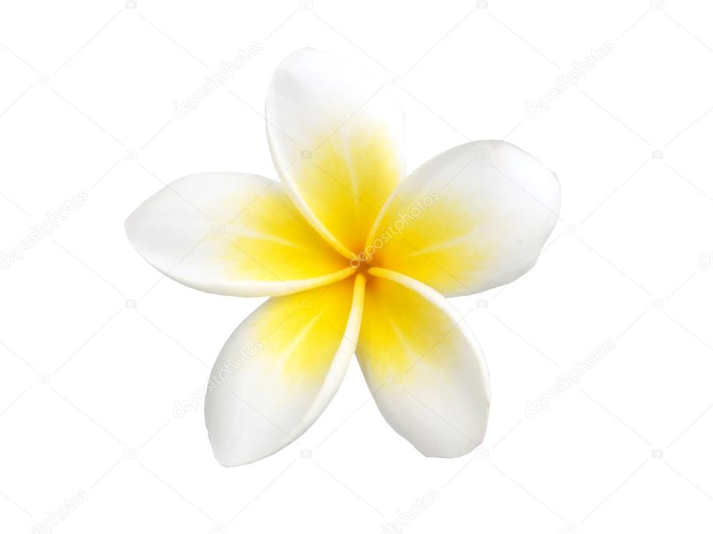 Tropical flower frangipani isolated on white background stock tropical flower frangipani isolated on white background stock photo mightylinksfo