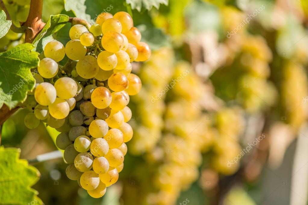 Gold Grapes on the Vine