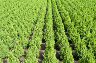 Rows of yew taxus trees.