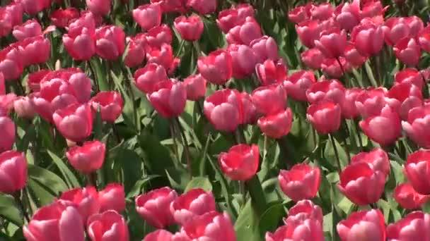 pole tulipánů v de zilk ležící v kraji Nizozemska, nedaleko Keukenhofu.