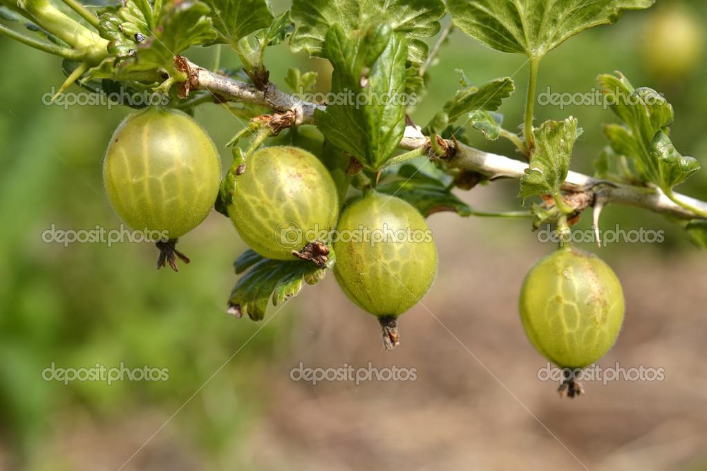 Gooseberries,