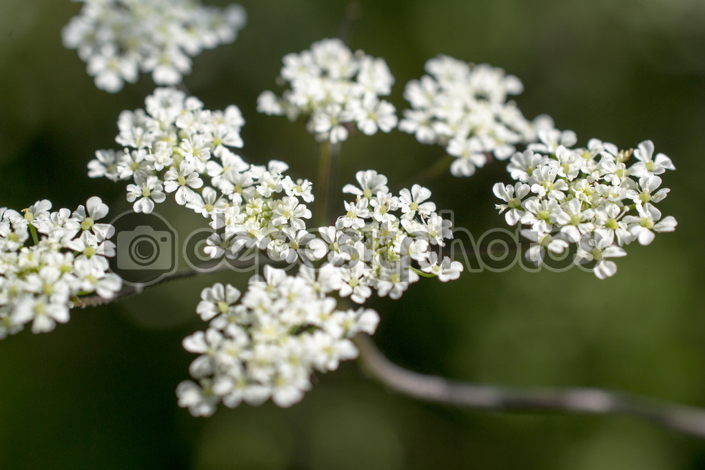 Cow parsley.