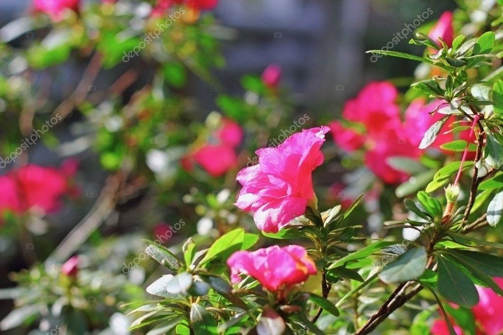 pink rhododendron ( azalea )