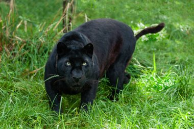 Black Leopard Hunting in the Long Grass