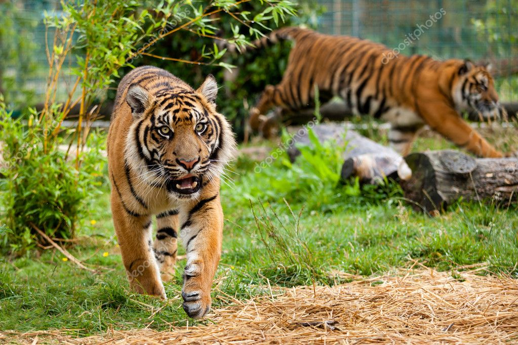 Two Young Sumatran Tigers Running and Playing