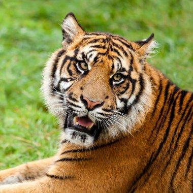 Head Shot of Growling Sumatran Tiger