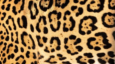 Real Live Jaguar Skin Fur Texture Background
