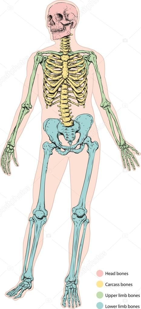 das menschliche Skelett — Stockvektor © Lukaves #18269977