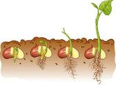Bohne Samen