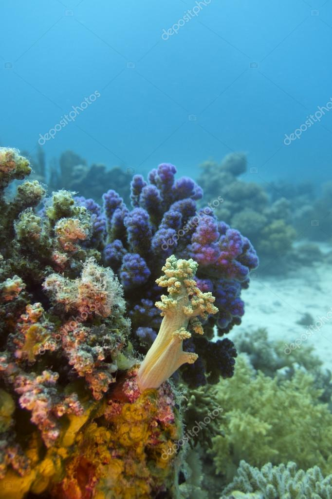 Colorful coral reef with hard and soft corals on the bottom of red sea