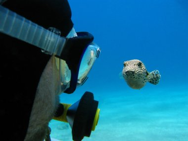 Scuba diver and pufferfish on the bottom of red sea