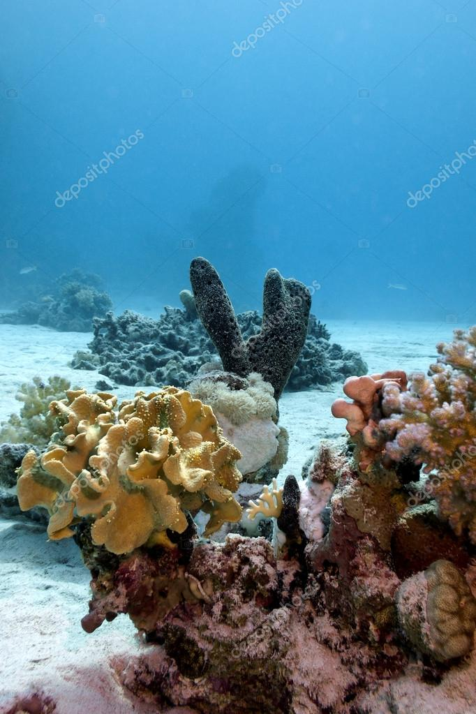 Coral reef with soft and hard corals and sea sponge on the bottom of red sea