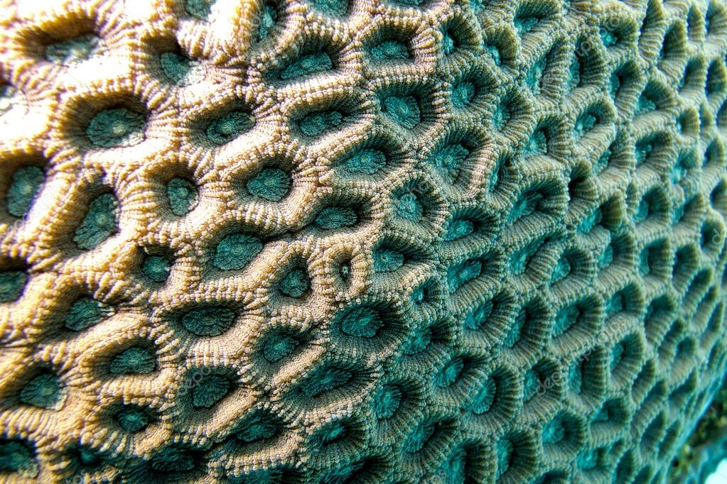 Coral reef with brain coral - closeup at the bottom of tropical sea
