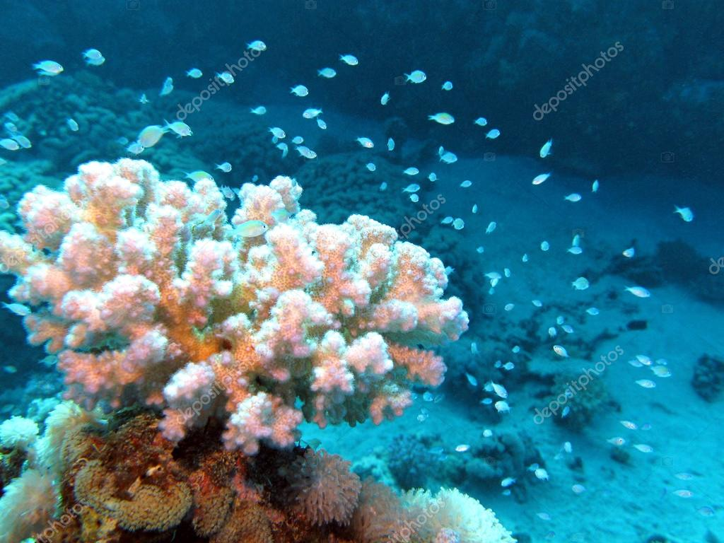 Coral reef with beautiful white hard coral and exotic fishes at the bottom of tropical sea