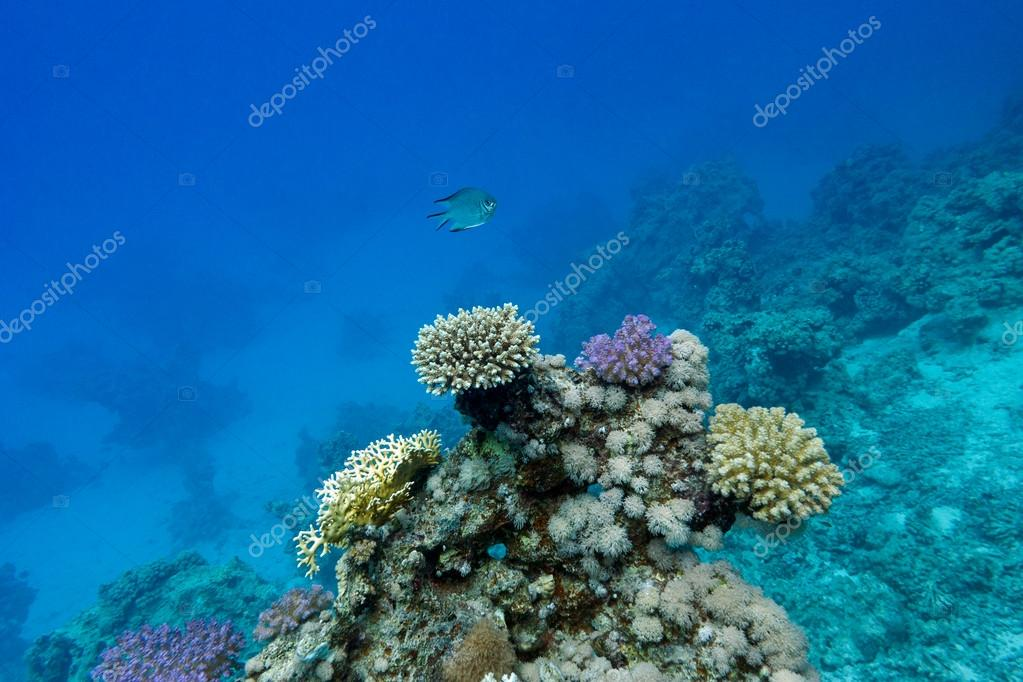 Coral reef with hard corals an exotic fish at the bottom of tropical sea on blue water background