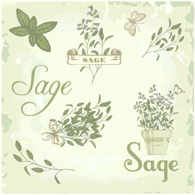 Sage, salvia, clary sage, herb, plant background, packaging calligraphy