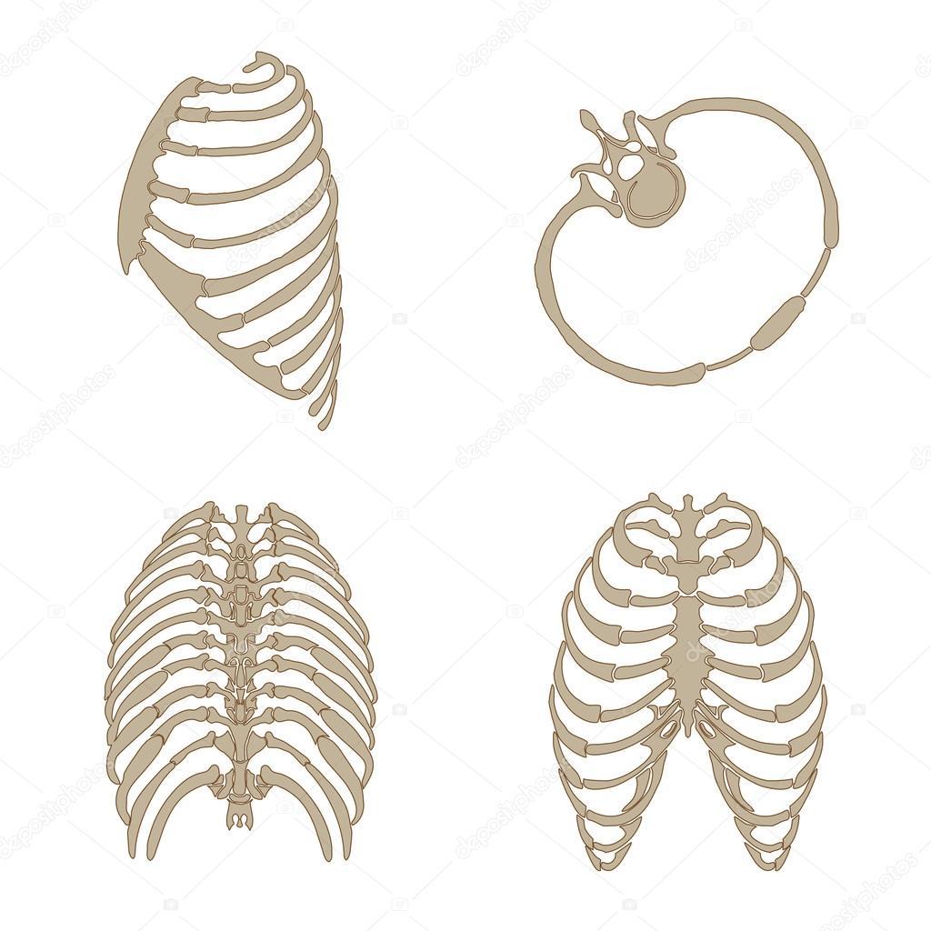 Anatomía del hueso costillas — Vector de stock © eveleen #38636567