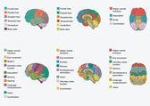 Human brain anatomy,