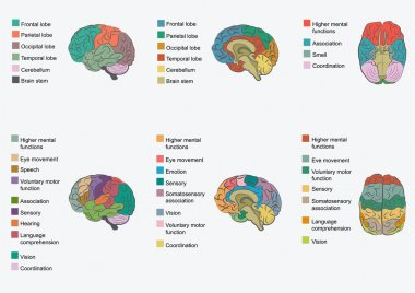 Human brain anatomy,