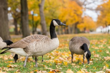 Canadian geese in the park. November 3'rd