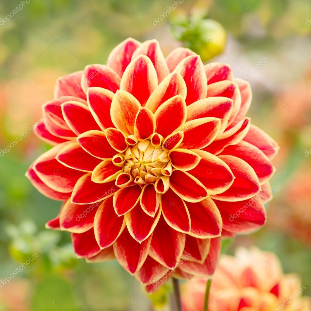 fleur de dahlia rouge dans la nature photographie ottochka 33499917. Black Bedroom Furniture Sets. Home Design Ideas