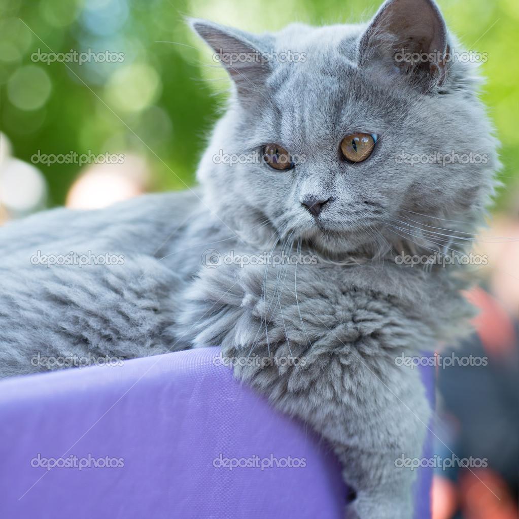 British blue cat 5 months — Stock © ottochka