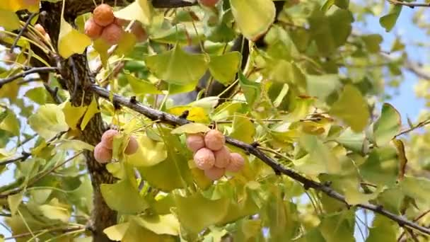 Ginkgo leaves and fruit