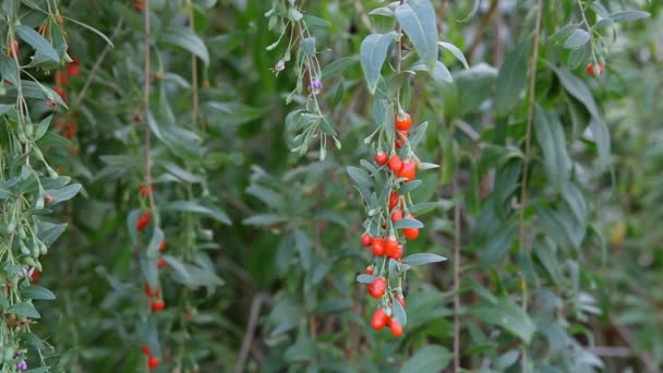 Goji-Beerenfruchtpflanze