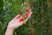 zemědělství, ovoce goji berry