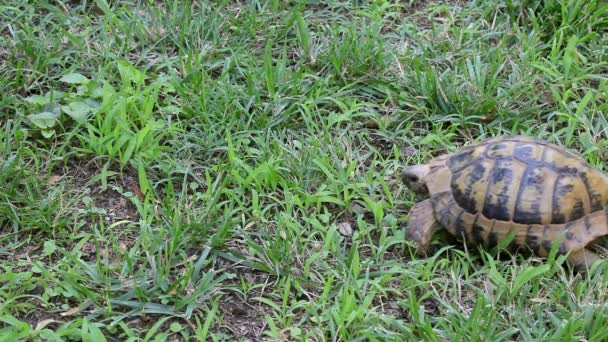 Small turtle slow walking