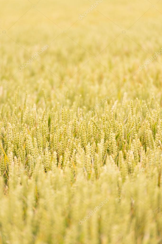 Wypełnione Pole Pszenicy Z Doniczki Złoty Zdjęcie Stockowe