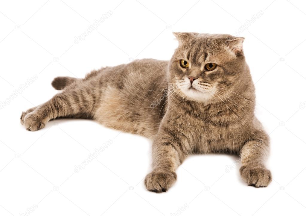 Szkocki Zwisłouchy Dorosły Kot Leży Na Na Białym Tle Zdjęcie