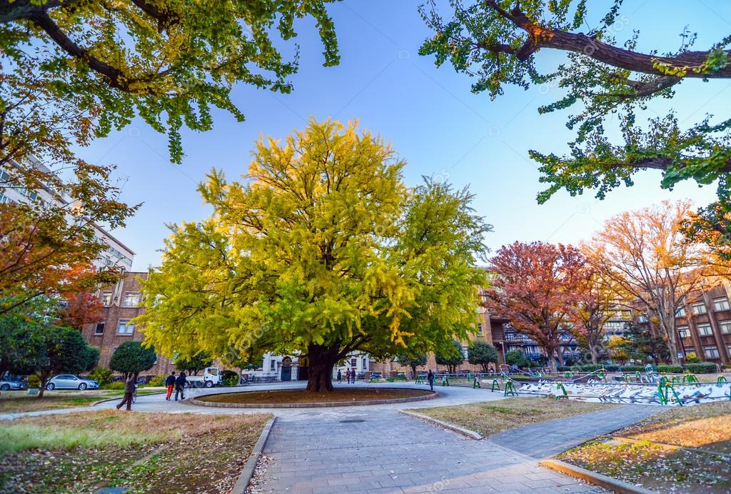 Autumn big trees in Tokyo University