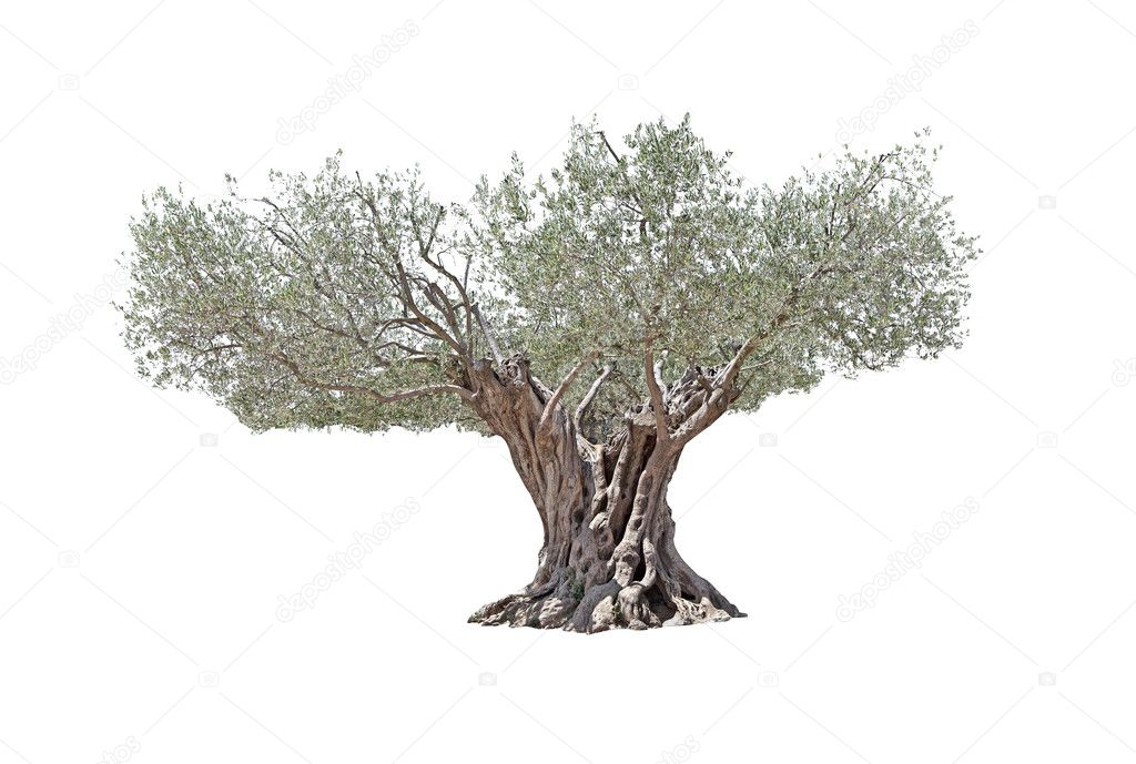 Secular Olive Tree isolated on white background.
