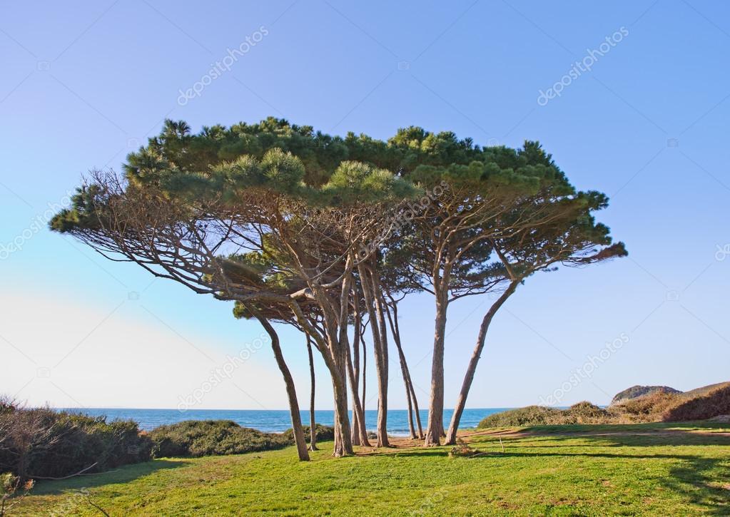 Maritime Pine tree group near sea and beach. Baratti, Tuscany.