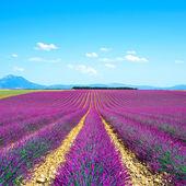 Levandule květ kvetoucí pole nekonečné řady. Valensole provence