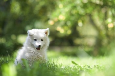 Samoyed dog puppy