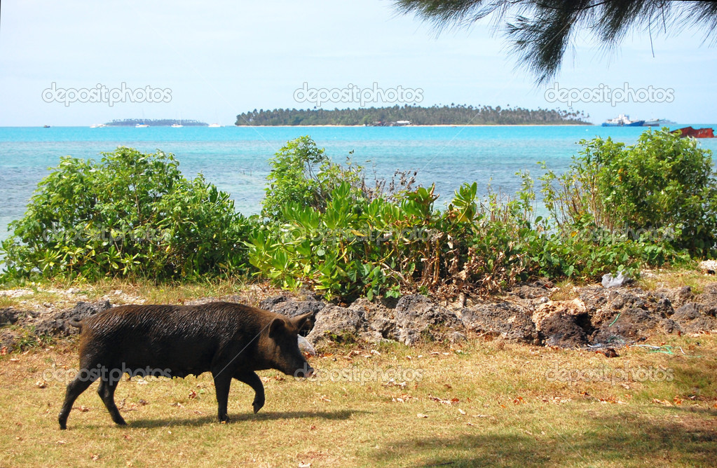 Pig walks at sea coast