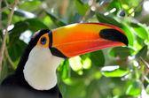 Photo Toucan outdoor - Ramphastos sulphuratus