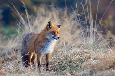 Fox in the wildlife
