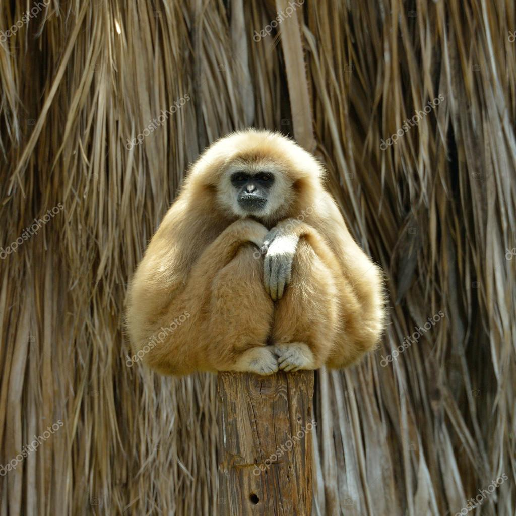 White Cheeked Gibbon at the zoo